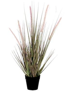 Plante Dogtail en pot H53cm D10cm