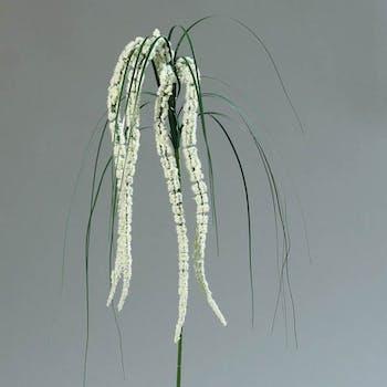Amaranthus crème