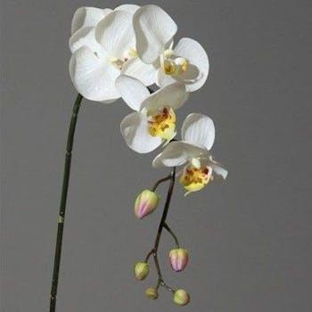 Orchidée crème/jaune