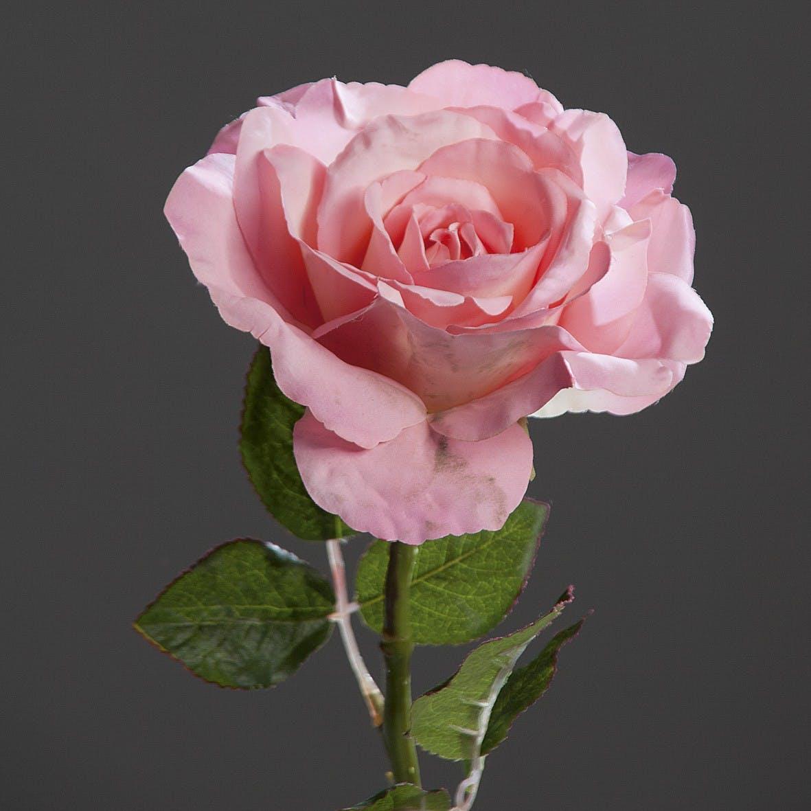 Rose Bogota XL Rose 56CM