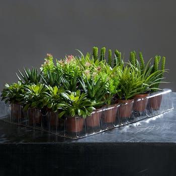 Cactus Agave en pot 10-15CM (à l'unité)