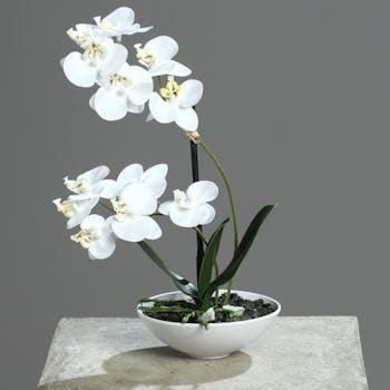 Orchidée Phalaenopsis Crème en coupe blanche 25CM
