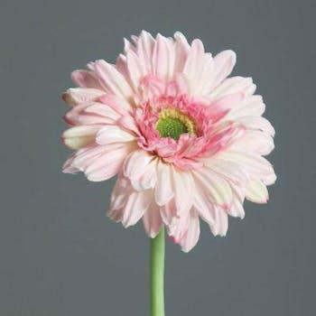 Gerbera rose, 60cm