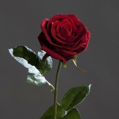 Rose touché velours couleur rouge, 50cm