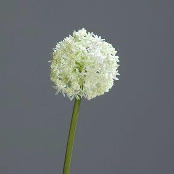 Allium couleur crème, 75cm