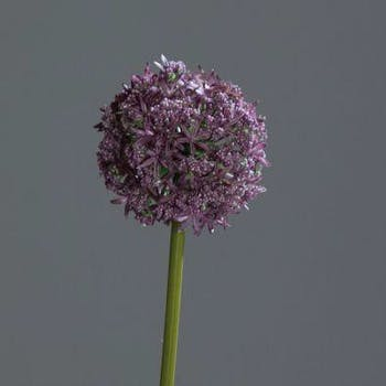 Allium couleur lavande, 75cm