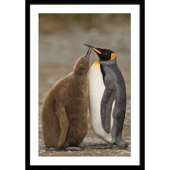 Affiche décorative encadrée duo de pingouins
