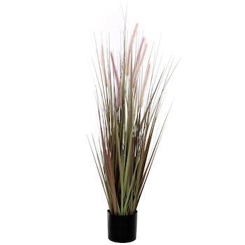 Plante Dogtail en pot H120cm D15cm
