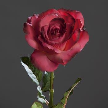 Rose Bogota XL fuchsia 56CM