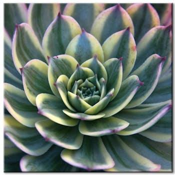 Tableau toile plante grasse